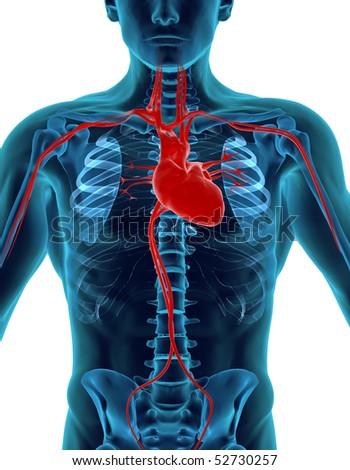 Human Heart & Skeleton - stock photo