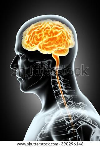 Human Internal Organic - Human Brain, medical concept. - stock photo