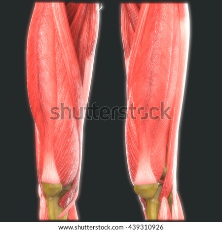 Human Leg Joints With Muscles Anatomy. 3D - stock photo
