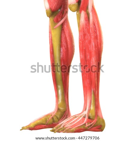 Human Leg Joints With Muscles Anatomy. 3D