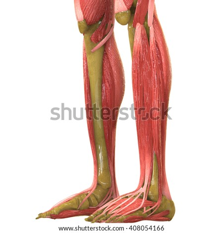 Human Leg Joints With Muscles. 3D