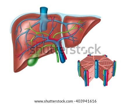Human liver and hepatic cell diagram. Digital illustration.