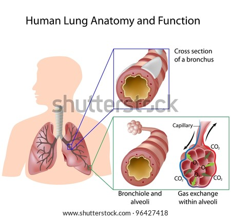 Human lung anatomy and function - stock photo