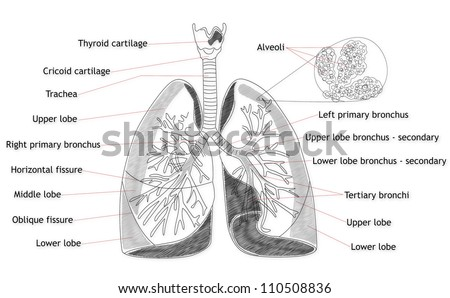 Human Lung structure - stock photo