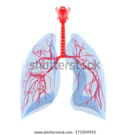 human lung with visible bronchi - stock photo