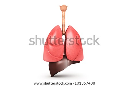 Human lungs and liver isolated on white background