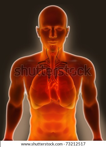 Human Lungs & Digestive System - stock photo