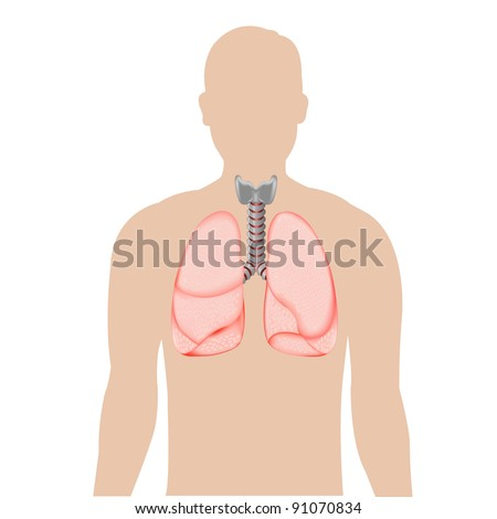 Human Lungs, Isolated On White Background