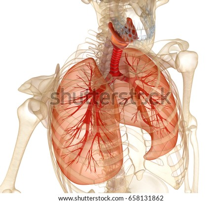 Human lung stock images royalty free images vectors shutterstock human lungs trachea and skeleton medically accurate 3d illustration ccuart Images