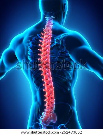 Human Male Spine Anatomy - stock photo