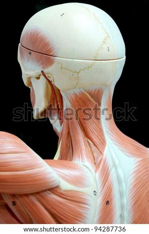 human muscle - stock photo