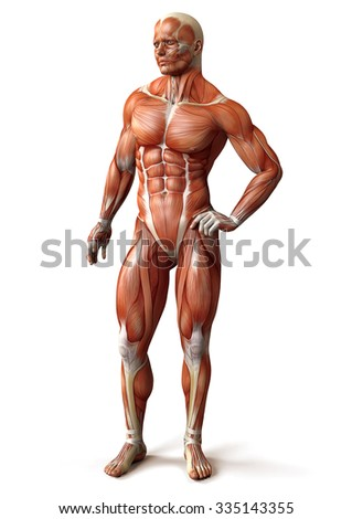 Human Muscle Anatomy Scheme Front View Stock Illustration 335143355 ...