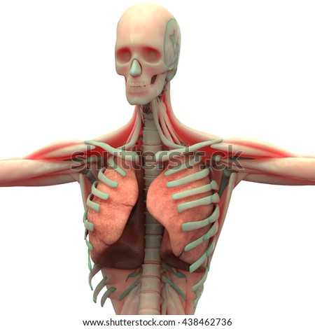 Human Muscle Body with Respiratory system. 3D