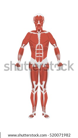 Human Muscles Anatomy Male Body Muscles Stock Illustration 520071982