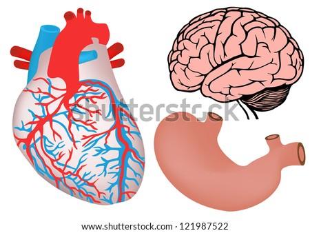 human organs. human heart, stomach and brain. jpg version - stock photo