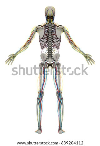 front rear view human skeleton male stock vector 199521506, Skeleton