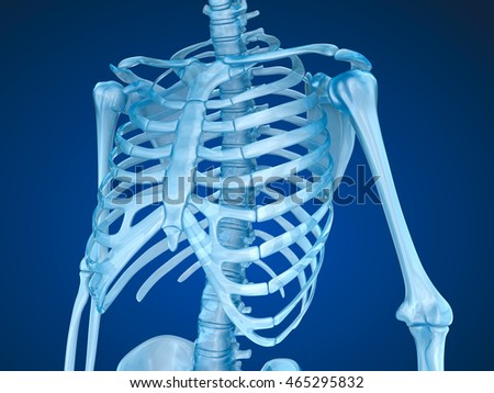 Human skeleton, breast chest