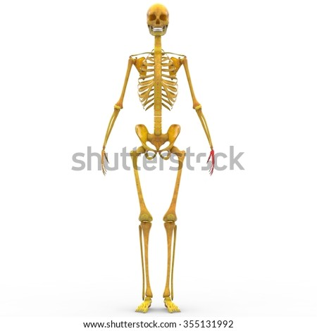 medical accurate illustration human skeleton stock illustration, Skeleton
