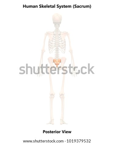 Human skeleton system sacrum anatomy posterior stock illustration human skeleton system sacrum anatomy posterior view 3d ccuart Image collections