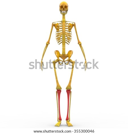 human skeleton humerus radius ulna hand stock illustration, Skeleton