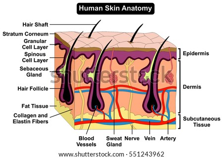 Human Body Skin Anatomy Diagram Infographic Stock Vector ...