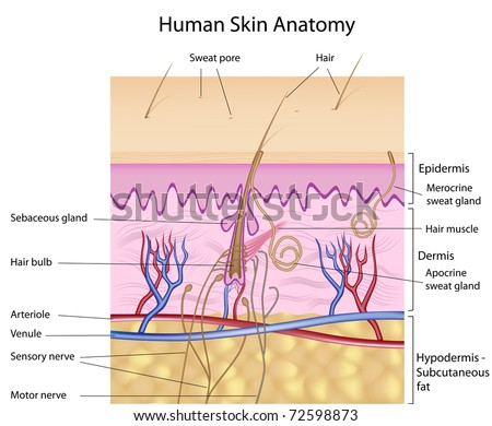 Human Skin Anatomy Detailed Accurate Labeled Stock Illustration