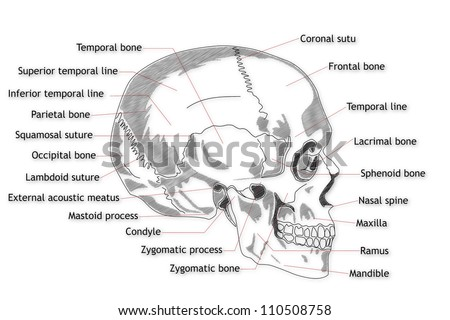 Skull Frontal Bone Labeled Diagram Electrical Work Wiring Diagram