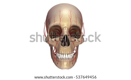 Human skull with arteries anterior view 3d illustration