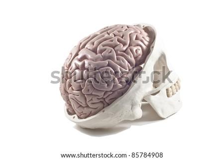 Human skull with brain model,isolated - stock photo