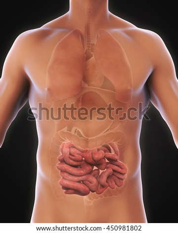 Human Small Intestine Anatomy Illustration. 3D rendering