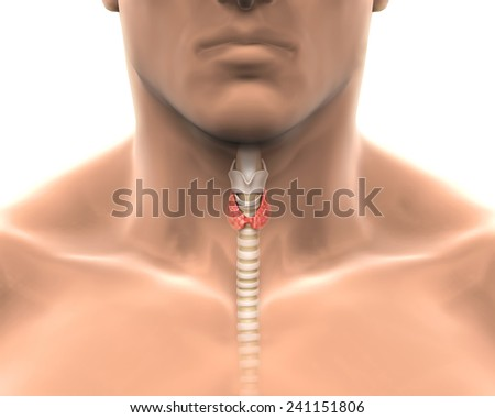 Human Thyroid Gland - stock photo