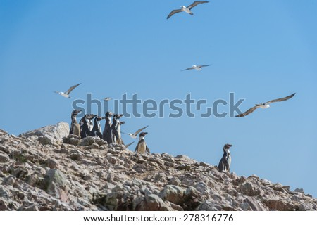 Humboldt Penguin on the island with Peruvian booby fly in the bl - stock photo