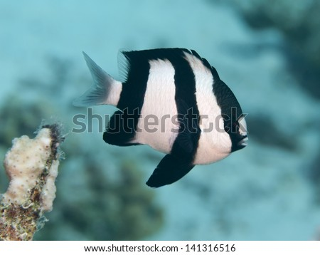 Humbug dascyllus in red sea - stock photo