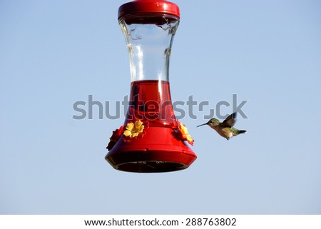 Humming Bird in flight at Feeder