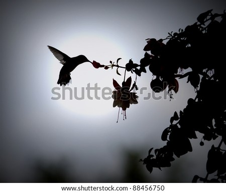 Humming bird in silhouette / Another Day of Sweet Life / Ruby throat-ed hummingbird takes her morning sip - stock photo