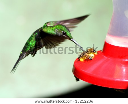 Hummingbird and bees visiting a feeder (Monteverde, Costa Rica) - stock photo