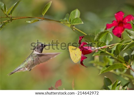 Hummingbird and Butterfly Vie for Same Flower - stock photo