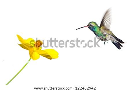 Hummingbird approaching flower on white background - stock photo