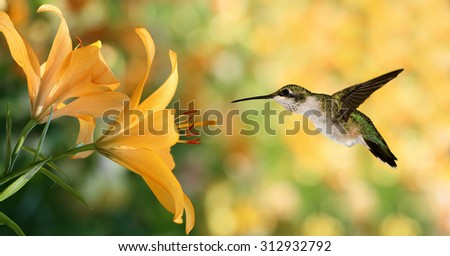 Hummingbird (archilochus colubris) in flight with tropical lily flowers over green background - stock photo