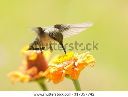 Hummingbird feeding on an orange Zinnia flower, with a bright green summer background - stock photo