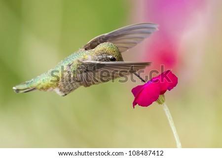 Hummingbird feeding on flower - stock photo