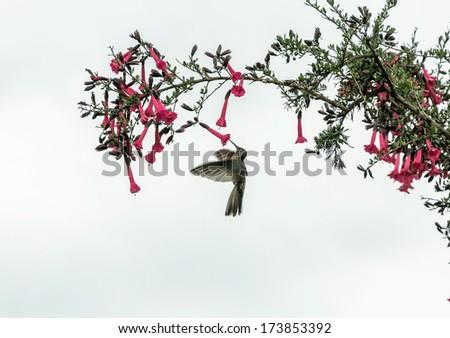 Hummingbird feeding on flower - Peru - stock photo