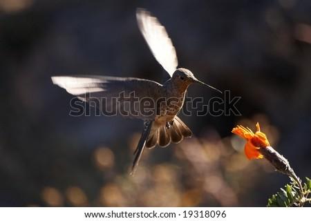 Hummingbird feeding on in flight - stock photo