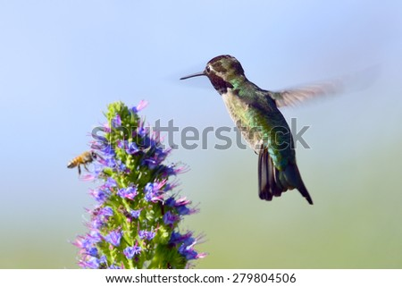 Hummingbird feeding on Pride of Madeira Flowers. - stock photo