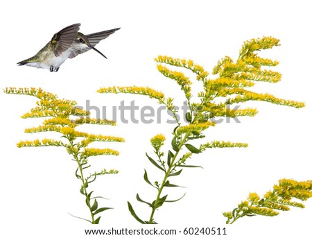 hummingbird floats over three stems of a golden rod flower; white background - stock photo