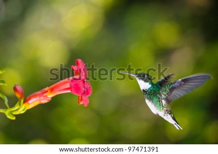 Hummingbird flying and approaching a red flower - stock photo