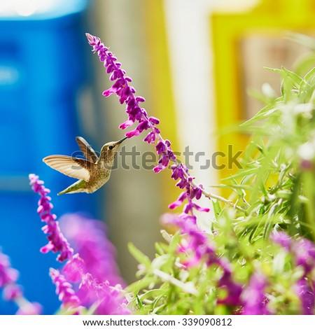 Hummingbird flying next to beautiful purple flower - stock photo