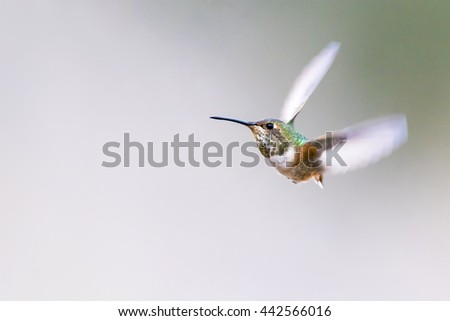 Hummingbird flying on Gradation background. - stock photo