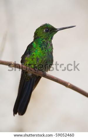 Hummingbird from Costa Rica, Green-crowned Brilliant (Helidoxa jacula) - stock photo