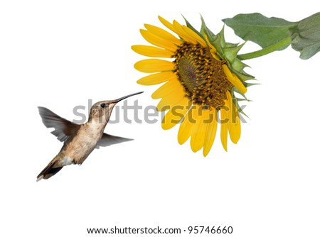 Hummingbird getting ready to feed on a wild Sunflower, isolated on white - stock photo